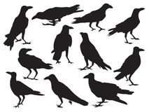 Set of crow realistic icon silhouette shadow isolated on white background in different action Royalty Free Stock Image