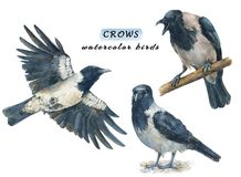 Set of crows - angry, calm and flying birds. Watercolor hand drawn illustrations isolated on white background Stock Illustration