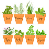 Set of  culinary herbs in terracotta pots with labels Stock Image