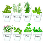 Set of culinary herbs in white pots with labels. Green basil, sage, rosemary, chives, thyme, parsley, mint, oregano with text abov. Set of  culinary herbs in Royalty Free Stock Images