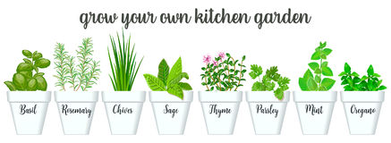 Set of  culinary herbs in white pots with labels. Green growing basil, sage, rosemary, chives, thyme, parsley, mint, oregano. With text above. Gardening. For Stock Photo