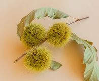 Set of curls containing chestnuts stock photography