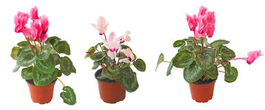 Set cyclamens on a white background is isolated Stock Photography
