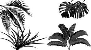 Set Czarny i bia?y li?cie banan, koks, monstera i ogawa, Tropikalny dla druku, obrazka lub poczt?wki, ilustracja wektor