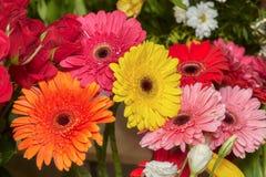 Set czerwieni, menchii, koloru żółtego i pomarańcze gerbera, kwitnie Fotografia Royalty Free