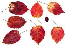 set czerwoni jesień liście odizolowywający olchowy drzewo Fotografia Stock