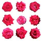 Set 9 czerwonych róż Zdjęcia Royalty Free