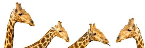 Set cztery fotografii śmieszne żyraf głowy odizolowywać na bielu plecy Zdjęcie Royalty Free