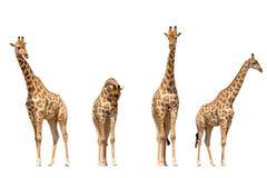 Set cztery żyrafa portreta Obrazy Royalty Free