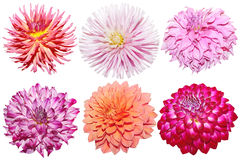 Set of Dahlia Stock Images