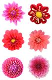 Set of dahlia flower heads. Isolated on white Royalty Free Stock Images
