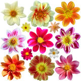 Set of dahlia flower heads Stock Image