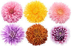 Set of dahlia flowers in different color Royalty Free Stock Photography