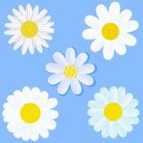 Set of daisies Stock Photos