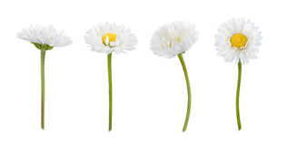 Set of daisy flowers isolated on a white Royalty Free Stock Photos
