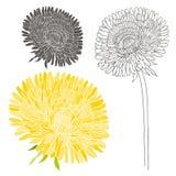 Set of dandelion isolated on white background. Hand drawn  Stock Photos