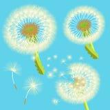 Set dandelions w wiatrze również zwrócić corel ilustracji wektora Obrazy Royalty Free