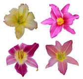 Set of day-lily flowers Royalty Free Stock Photo