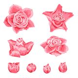 Set of decorative pink roses. Beautiful realistic flowers and buds Stock Photos