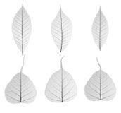 Set of decorative skeleton leaf Royalty Free Stock Images