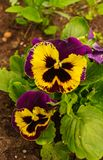 Set of delicate blue and purple pansies royalty free stock photo