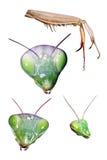 Set des betenden Mantis Lizenzfreie Stockfotos
