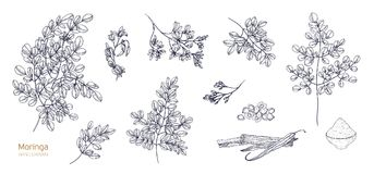 Set of detailed botanical drawings of Moringa oleifera leaves, flowers, seeds, fruits. Bundle of parts of tropical plant. Hand drawn with black contour lines on royalty free illustration