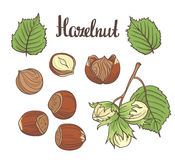 Set of detailed hand drawn hazelnuts isolated on white background. Royalty Free Stock Photo