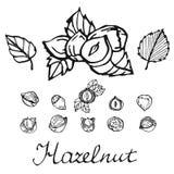 Set of detailed hand drawn hazelnuts isolated on white background. Stock Photo