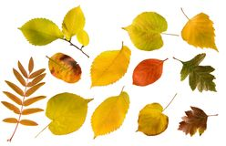 Set of different autumn leaves isolated. Set of different colours autumn leaves isolated on white Royalty Free Stock Photography