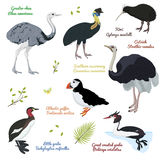 Set of different birds, cassowary southern, ostrich, atlantic puffin, kiwi, little and great crested grebe, greater rhea Stock Photos