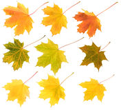 Set of different colours maple leaves isolated. Set of nine different colours maple leaves isolated on white Royalty Free Stock Photos