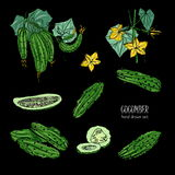 Set of different cucumber, on branch, flowering. slices, cut along, top view, from side. Colorful vector hand drawn. Set of different cucumber, on branch Stock Photography