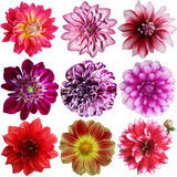 Set of different dahlias Stock Images