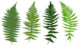 Set of different ferns Royalty Free Stock Image