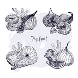 Set of different fig fruit. Fresh and dried fruits, leaf, slices. Black and white contour vector hand drawn illustration.  Royalty Free Stock Photos