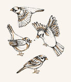 Set with different flying and sitting sparrow. Hand drawn colorful vector illustration. Royalty Free Stock Photography