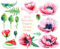 Set of different pink, red poppies, buds, leaves for design. Stock Photo
