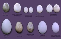 Set of different type birds` eggs against violet background stock illustration