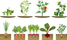 Carrot With Root Underground Stock Illustration ...