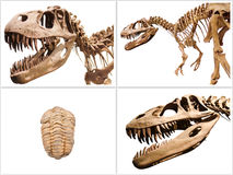 Set of dinosaurs skeleton and trilobites fossil, on white isolated background. Stock Images