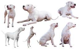 Set Dogo Argentino Obrazy Royalty Free