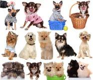 Set Dogs Isolated White Background. Royalty Free Stock Photo
