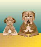 Set of dogs looking forward. Set of two Mastiff dogs sitting at the table and looking forward. One of them is a puppy, and another is an adult. Brown color Stock Photo