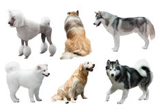 Set of dogs over white Royalty Free Stock Photos