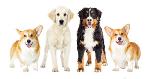 Set dogs Royalty Free Stock Image