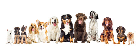 Set of dogs. On white background looking Stock Images