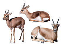Set of dorcas gazelle on white with shade Royalty Free Stock Photography