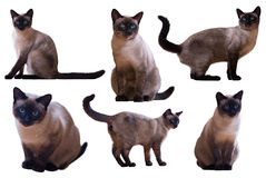 Set Dorosli Syjamscy koty Obrazy Stock