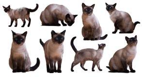 Set Dorosli Syjamscy koty Fotografia Stock